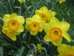 Narcis 'Delibes'