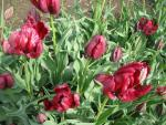 Tulipán 'Red Cap'