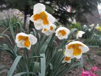 Narcis Tricollet - Collar narcisy