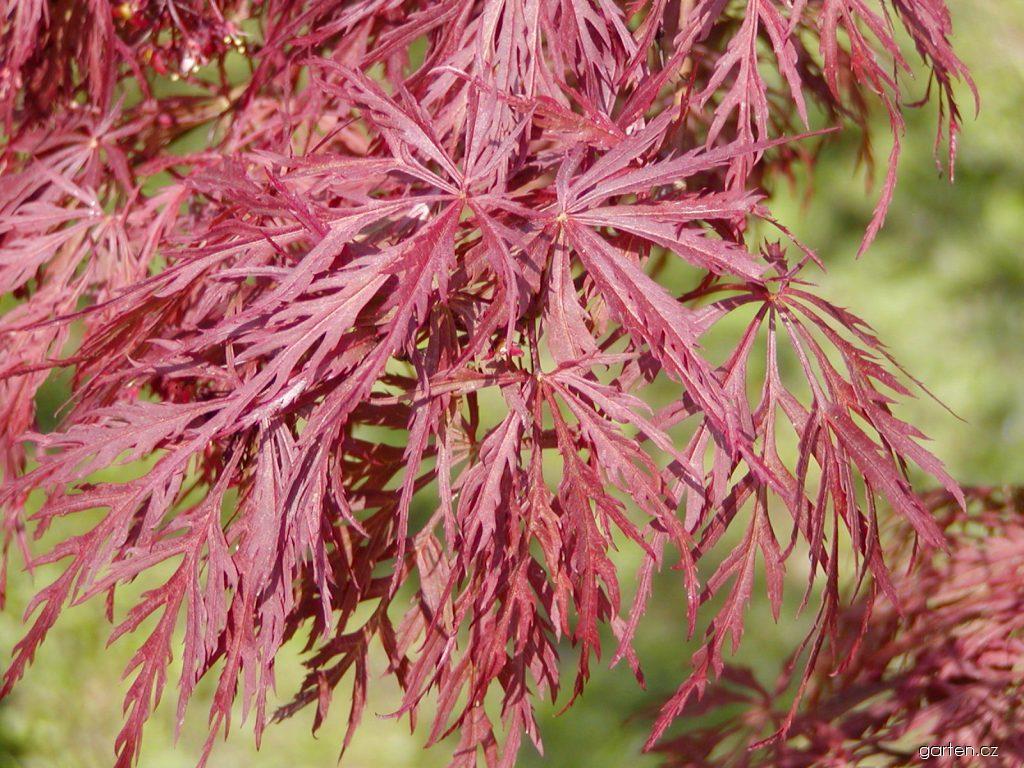 Javor dlanitolistý Dissectum Atropurpureum (Acer palmatum)