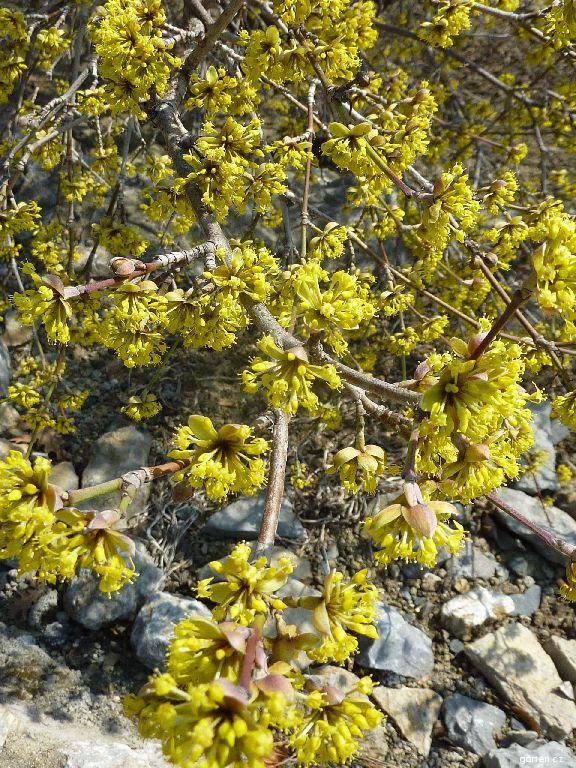 Dřín obecný - květ (Cornus mas)