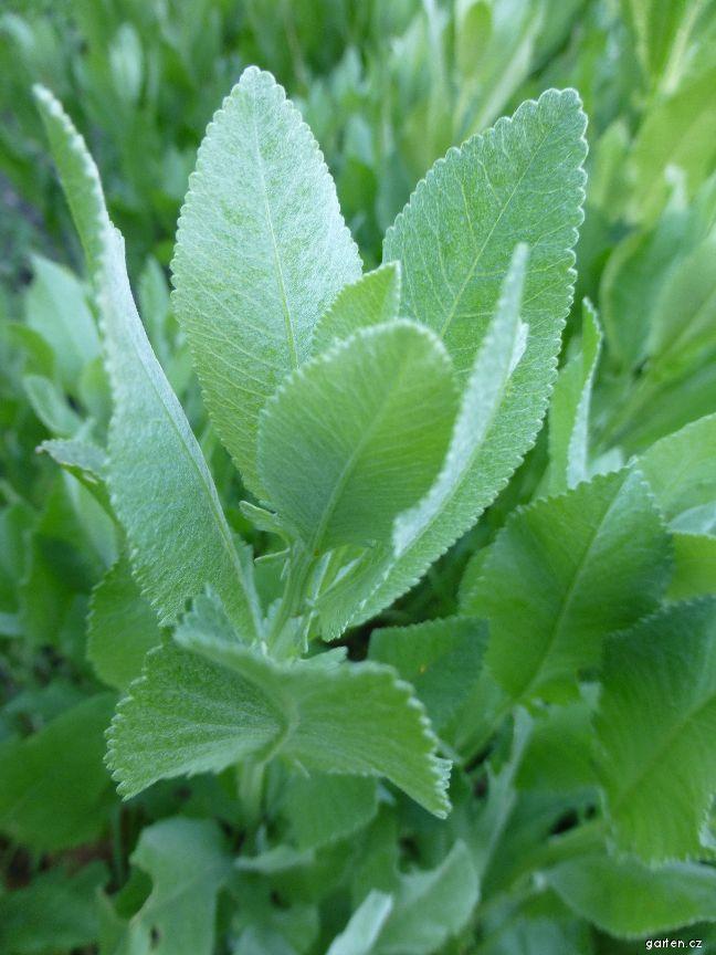 Maří list balšámový (Balsamita major)