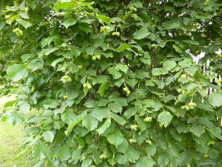 Líska s plody (Corylus avellana)
