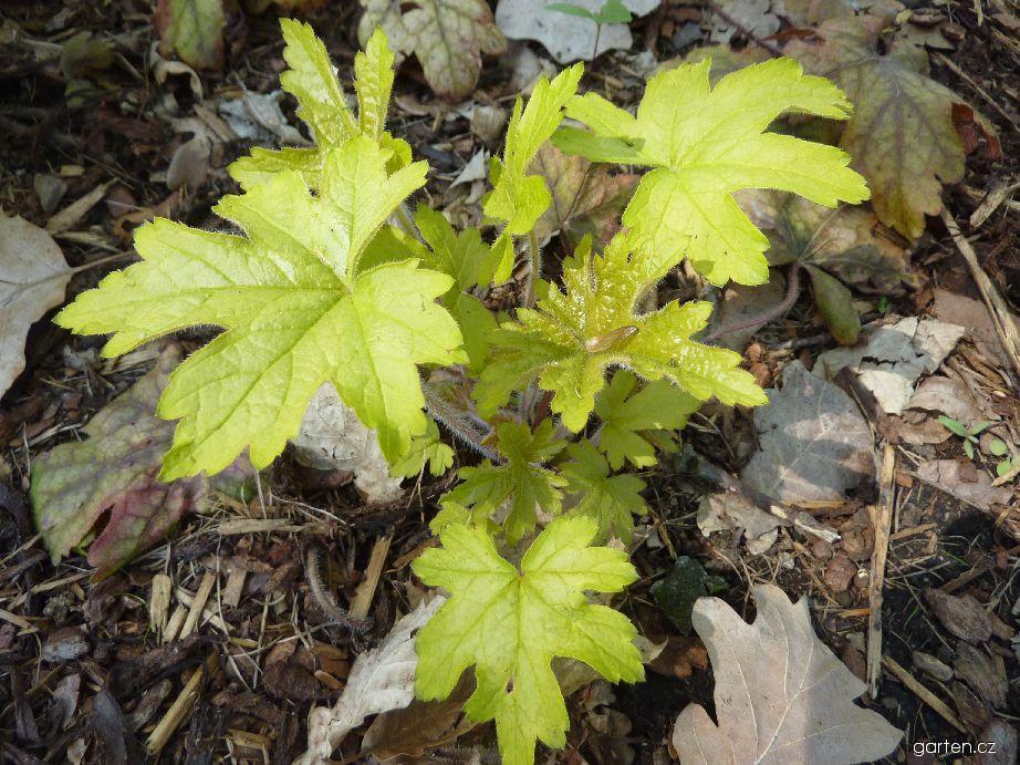 Dlužela Alabama Sunrise (Heucherella hybridum)