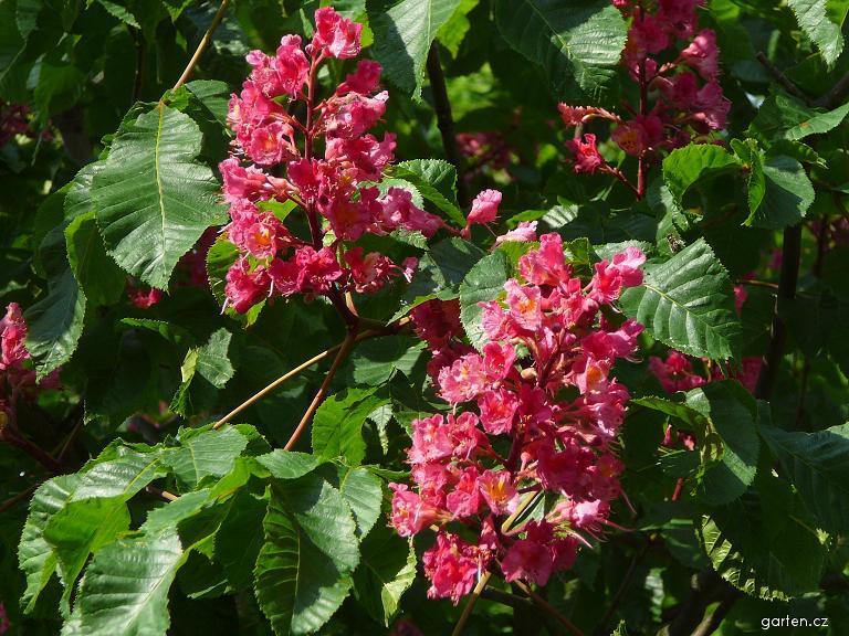 Jírovec červený - květ (Aesculus x carnea)
