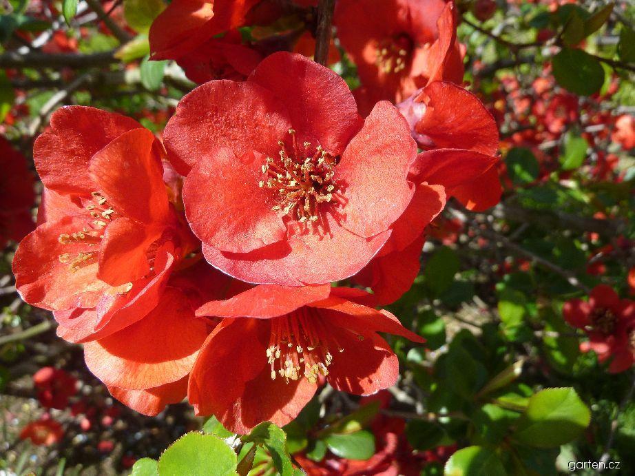Kdoulovec nádherný Nicoline - květ (Chaenomeles x superba)