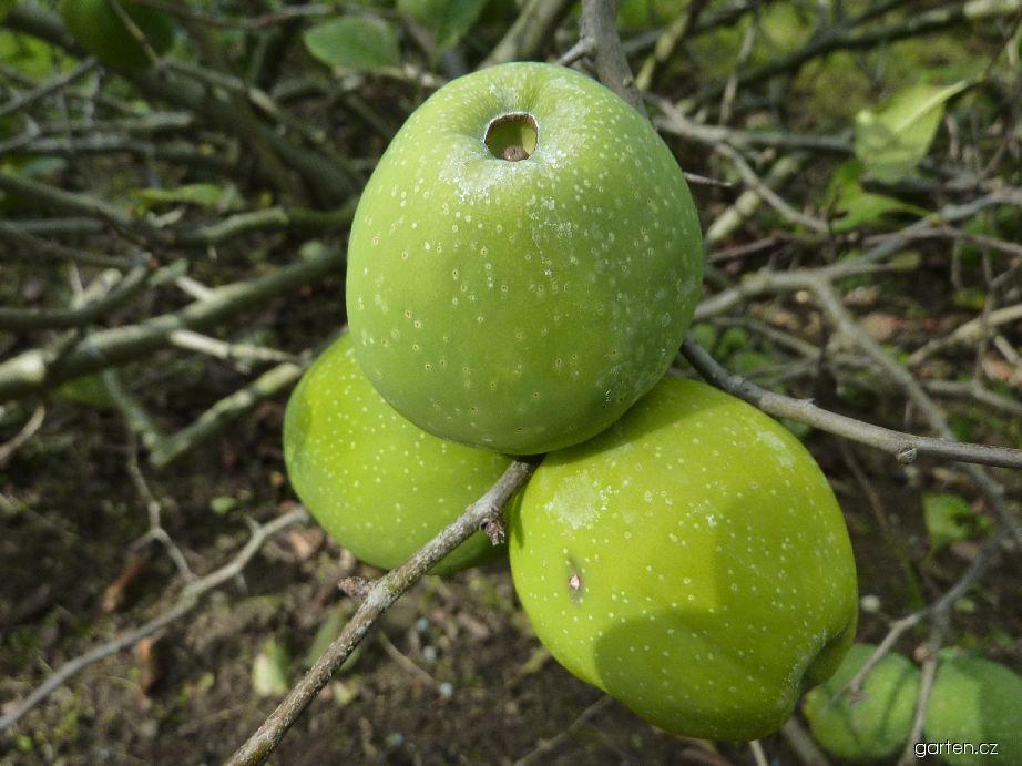 Kdoulovec nádherný Nicoline - plod (Chaenomeles x superba)