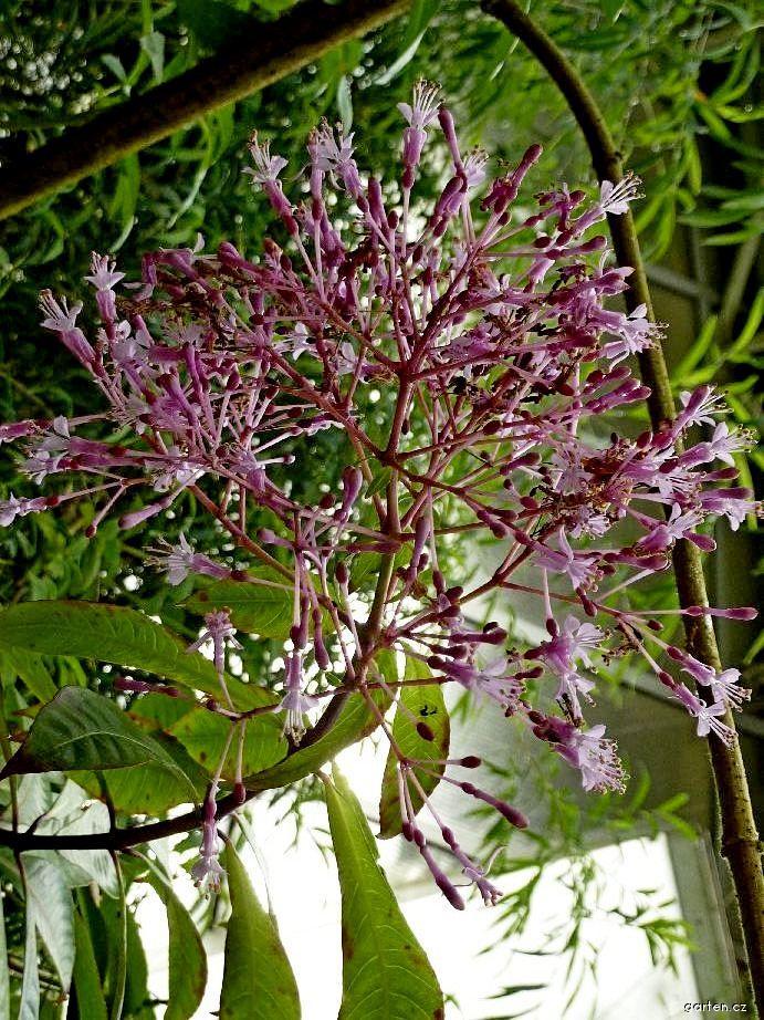 Fuchsie - květ (Fuchsia arborescens)
