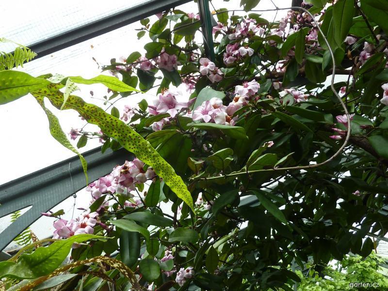 Krutikvět cenný (Strophanthus gratus)