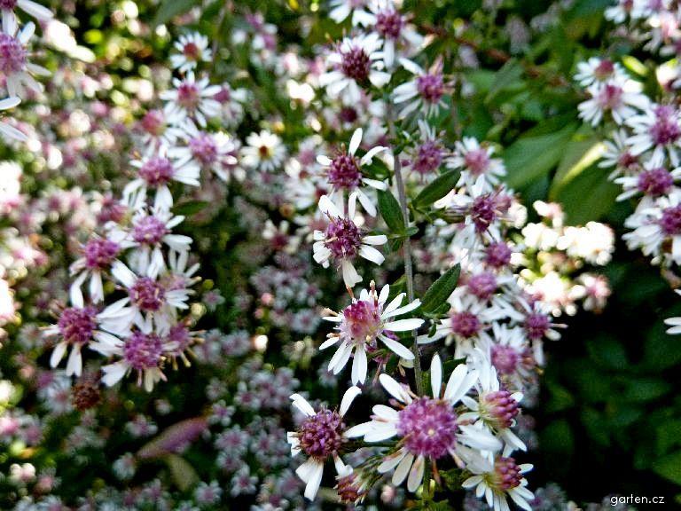 Hvězdnice Horizontalis - květ (Aster lateriflorus)