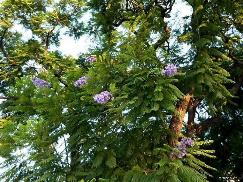 Jacaranda (Jacaranda mimosifolia)