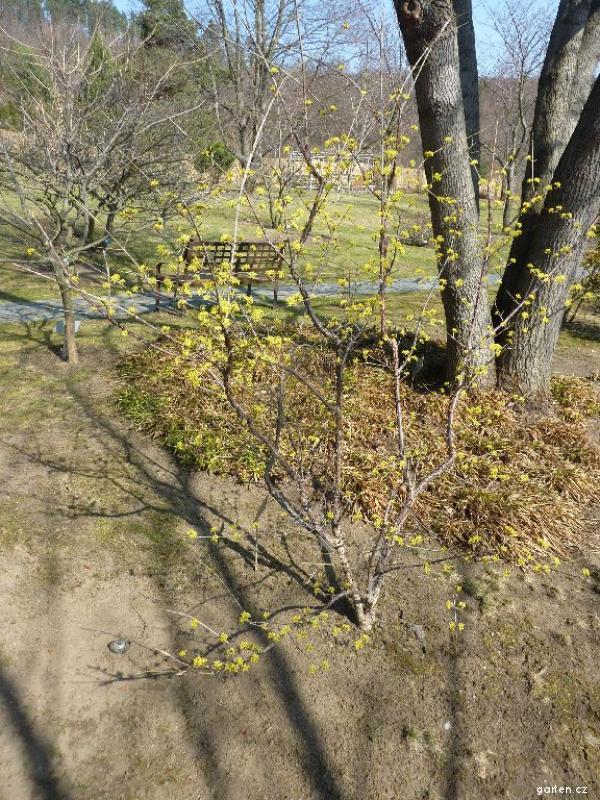 Dřín lékařský Kintoki (Cornus officinalis)