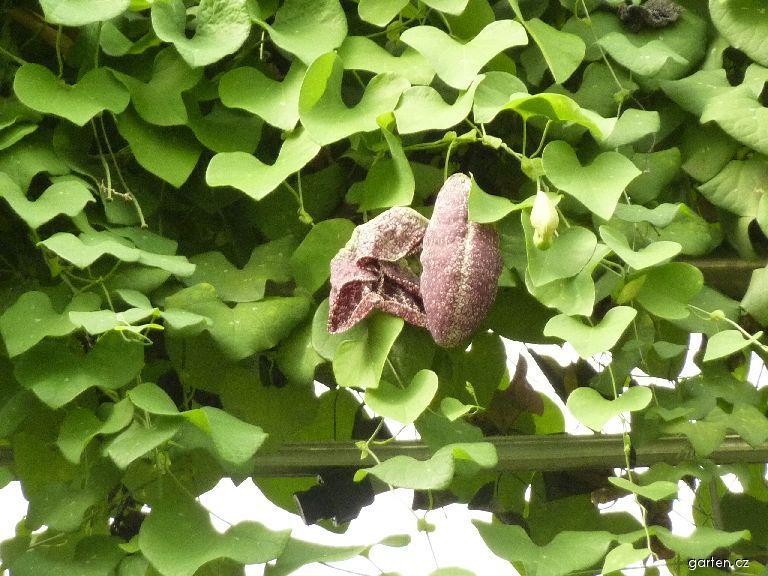 Podražec (Aristolochia trilobata)
