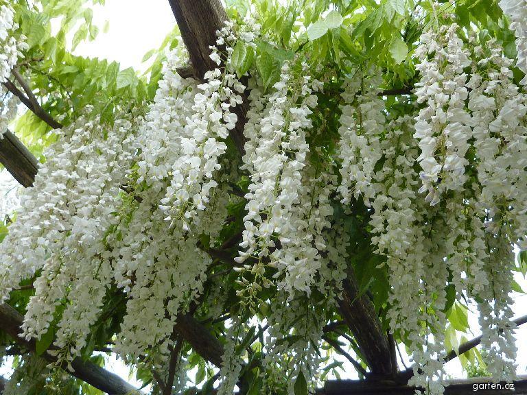 Vistárie čínská - květ (Wisteria sinensis)