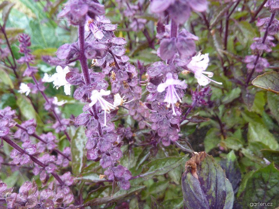 Bazalka pravá Ararat - květ (Ocimum basilicum)