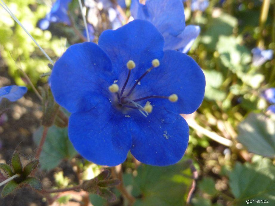 Svazenka - květ (Phacelia campanularia)