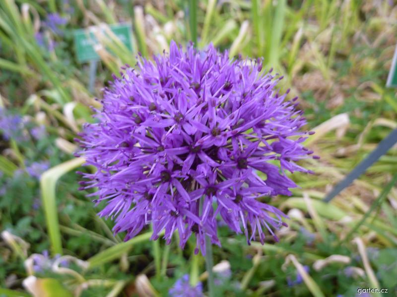 Česnek obrovský - květ (Allium giganteum)