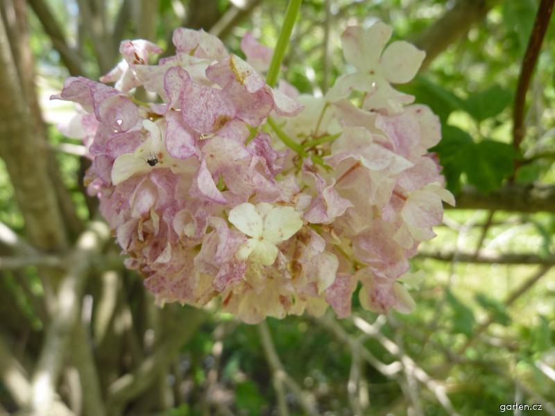 Kalina obecná Roseum - květ (Viburnum opulus)