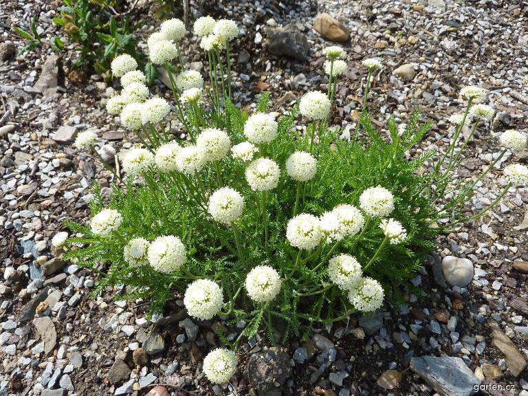 Svatolina zelená (Santolina viridis)
