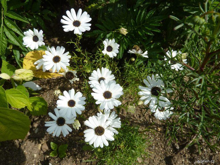 Všelicha štěničníkolistá (Brachyscome iberidifolia)