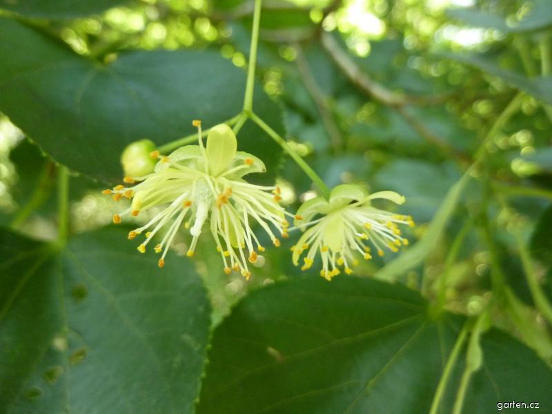 Lípa zelená - květ (Tilia euchlora)
