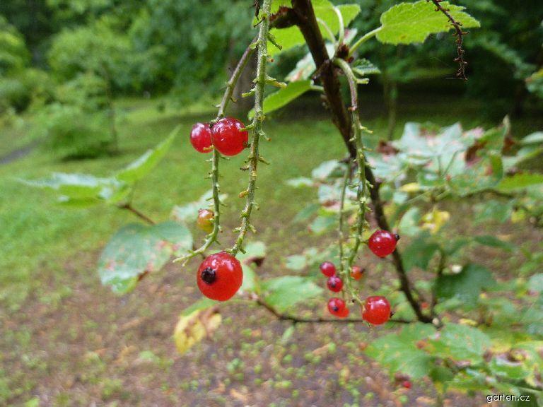 Meruzalka skalní - plod (Ribes petraeum)