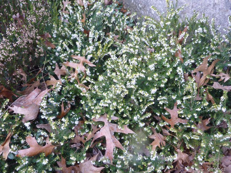 Vřes obecný (Calluna vulgaris)