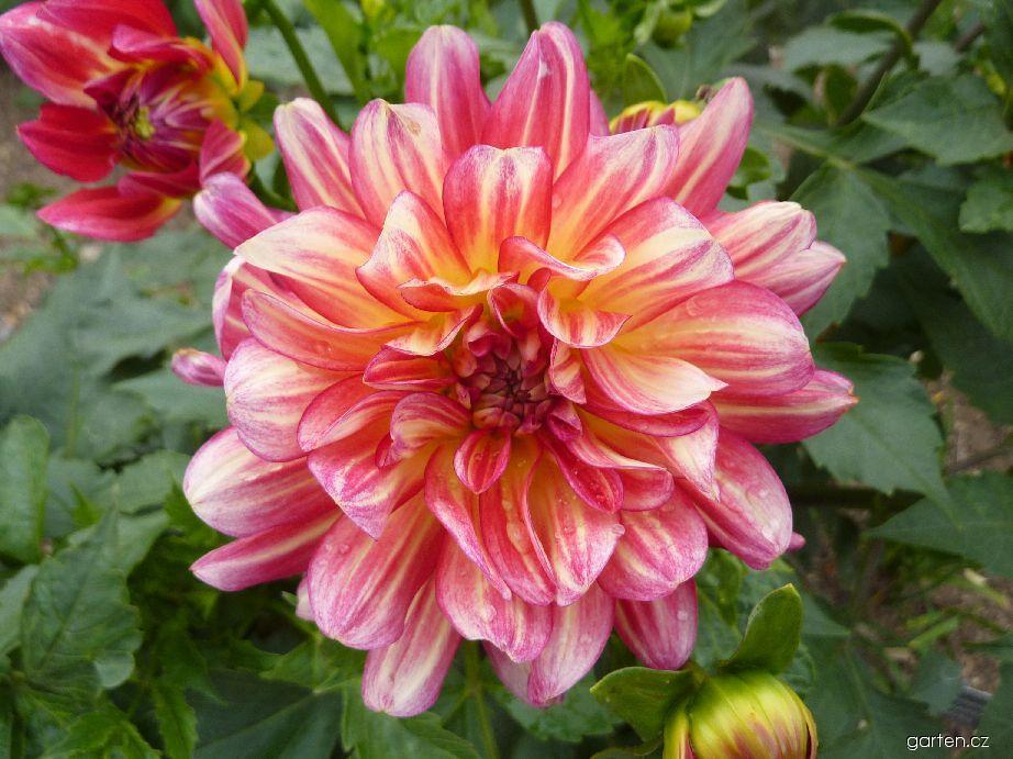Jiřina Kavkaz - květ (Dahlia)