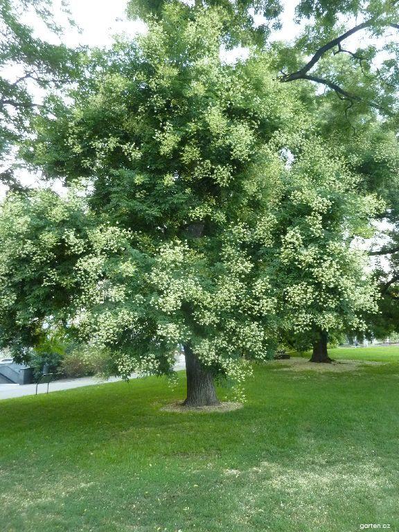 Jerlín japonský (Sophora japonica)