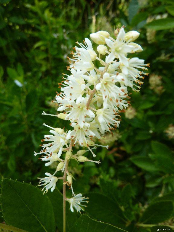 Jochovec olšolistý Hummingbird - květ (Clethra alnifolia)