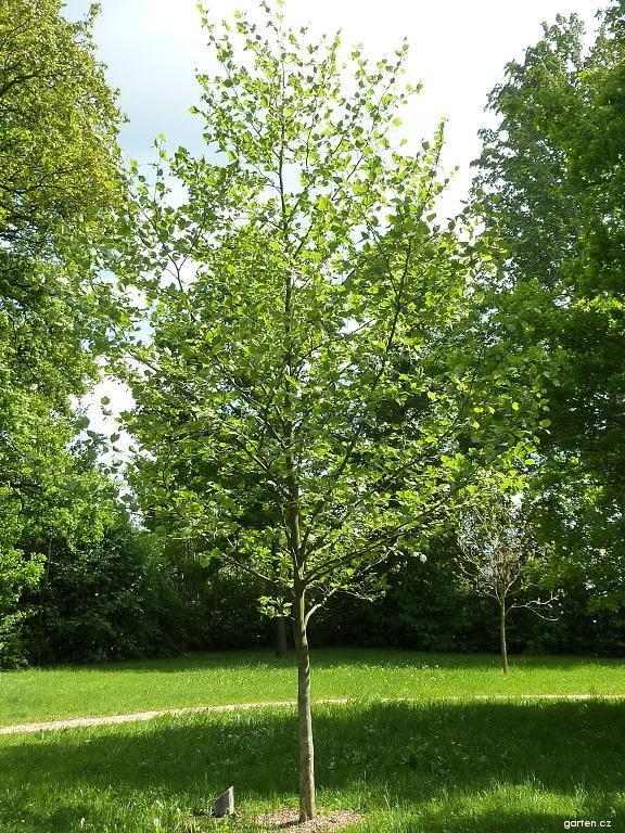 Platan javorolistý (Platanus acerifolia)
