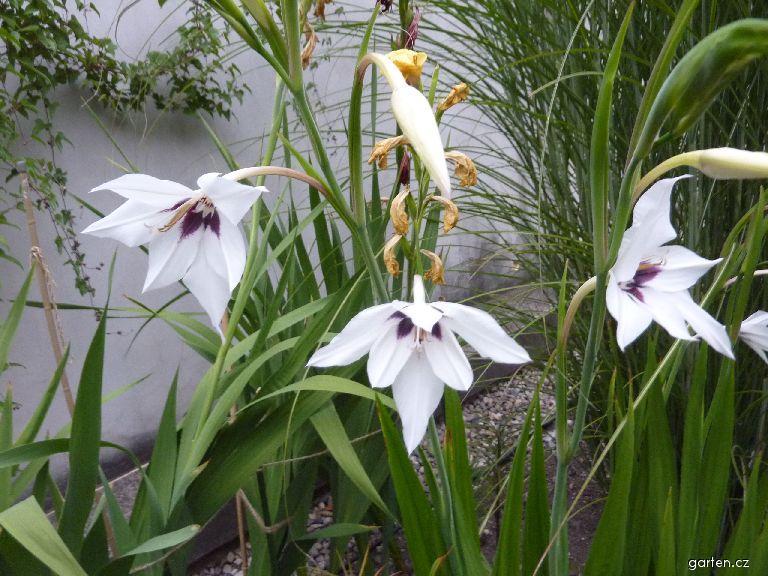 Acidantera dvoubarevná (Acidanthera bicolor)