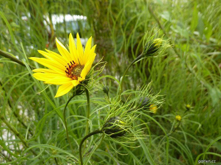 Slunečnice vrbolistá (Helianthus salicifolius)
