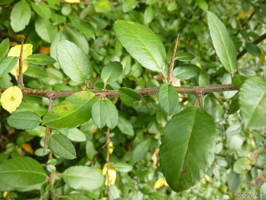 Hlohyně šarlatová - větévka s trny (Pyracantha coccinea)
