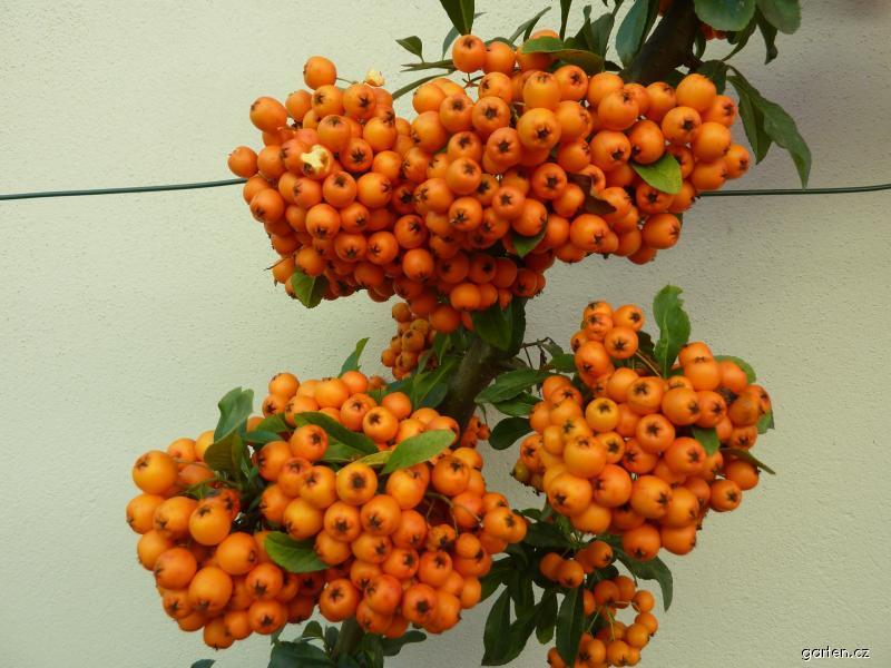 Hlohyně šarlatová - plod (Pyracantha coccinea)