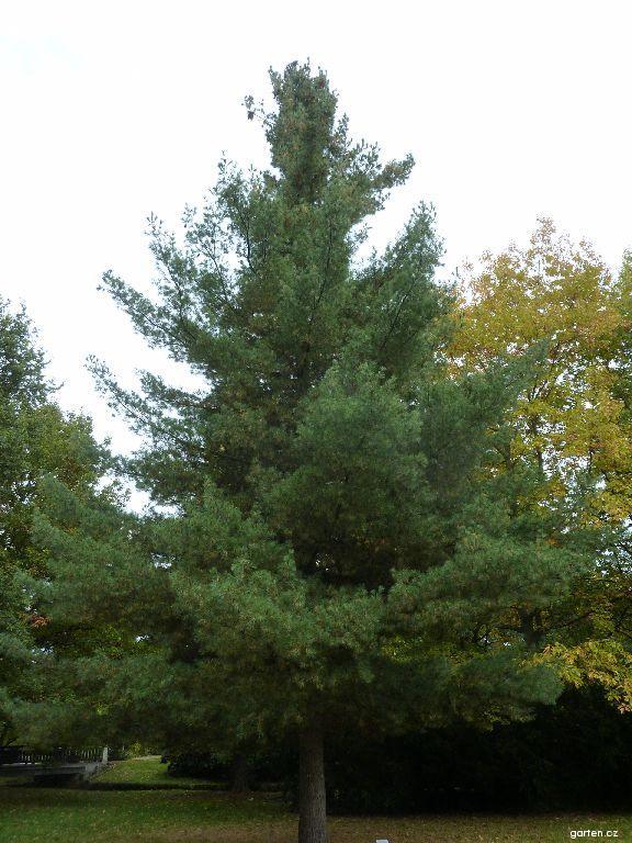 Borovice vejmutovka (Pinus strobus)