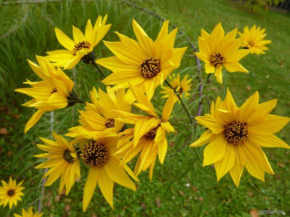Slunečnice vrbolistá - květ (Helianthus salicifolius)