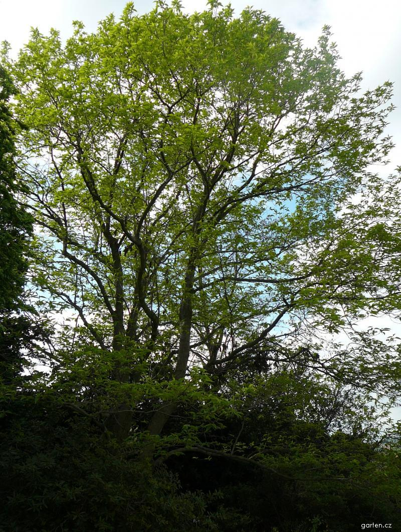 Forum obr zek gumojilm jilmov eucommia ulmoides for Garten forum