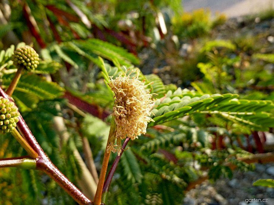 Leucéna - květ (Leucaena sp)