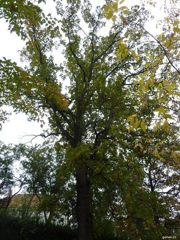 Dub velkoplodý (Quercus macrocarpa)