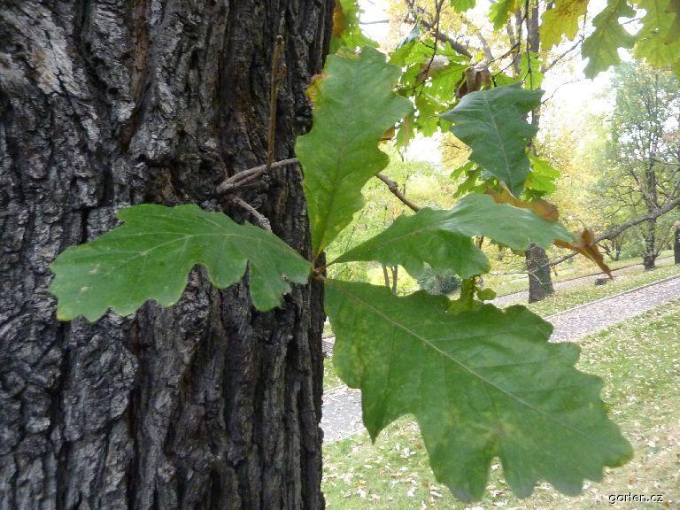 Dub velkoplodý - kmen a list (Quercus macrocarpa)
