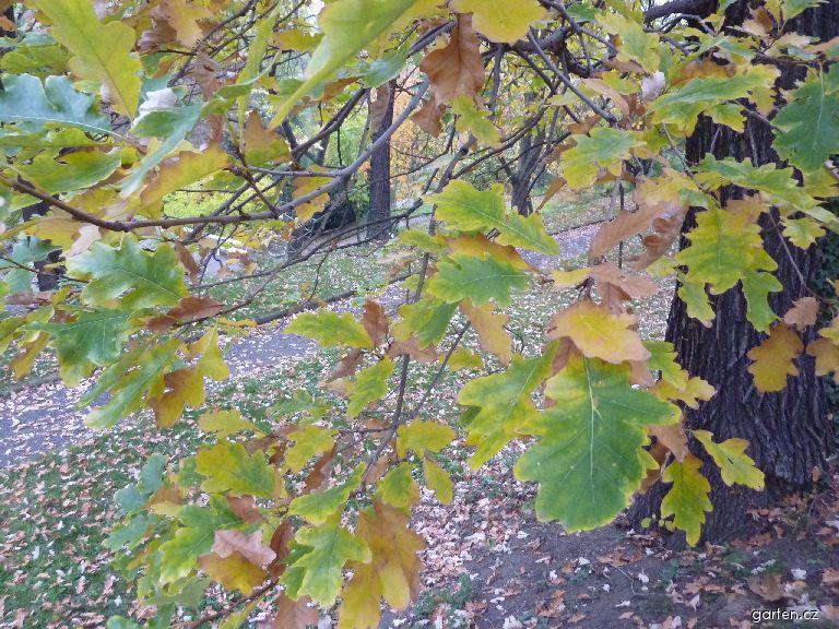 Dub velkoplodý - podzimní zbarvení (Quercus macrocarpa)