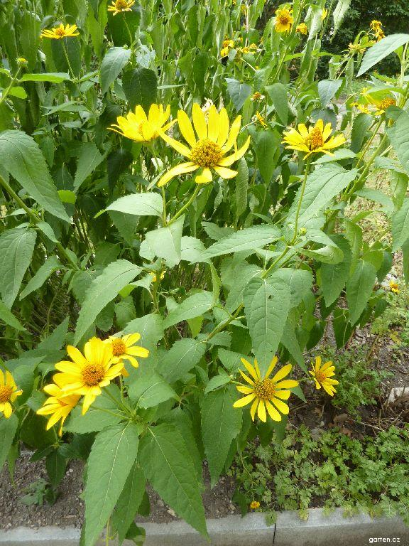 Slunečnice (Helianthus atrorubens)