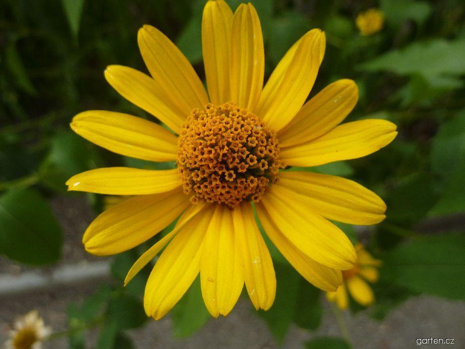 Slunečnice - květ (Helianthus atrorubens)