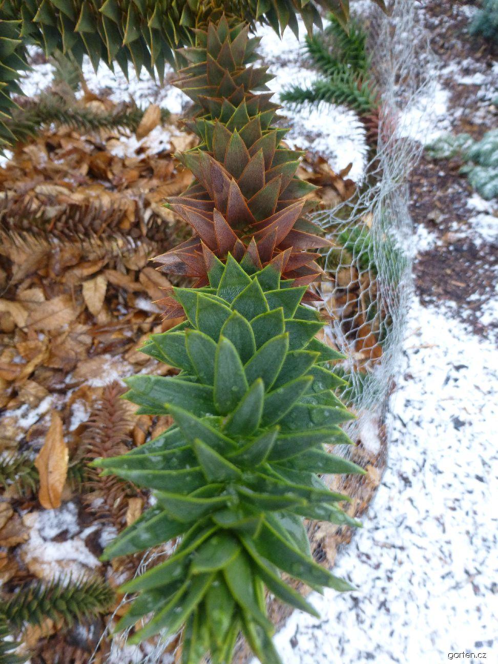 Blahočet chilský - v zimě (Araucaria araucana)