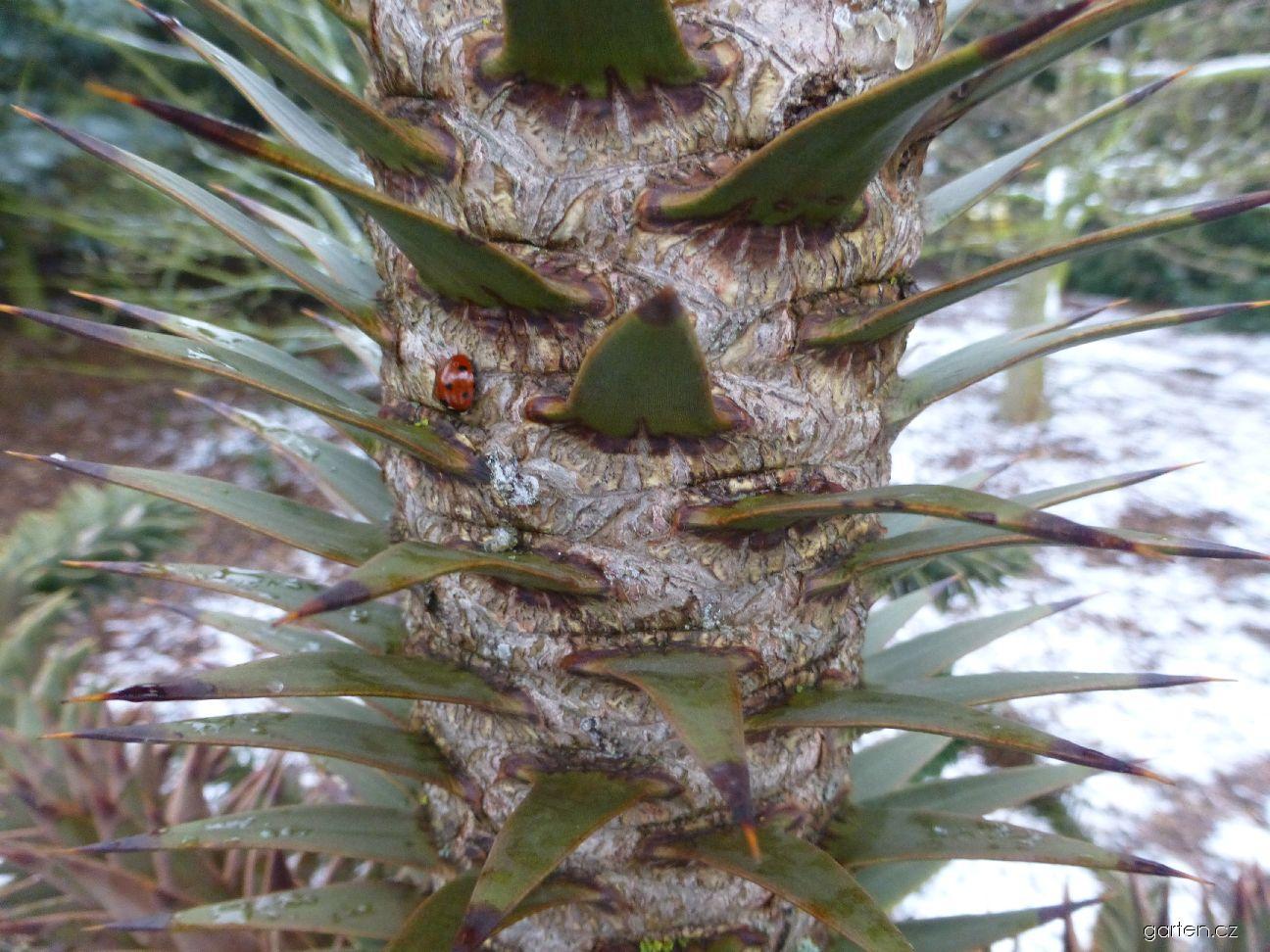 Blahočet chilský - kmen (Araucaria araucana)