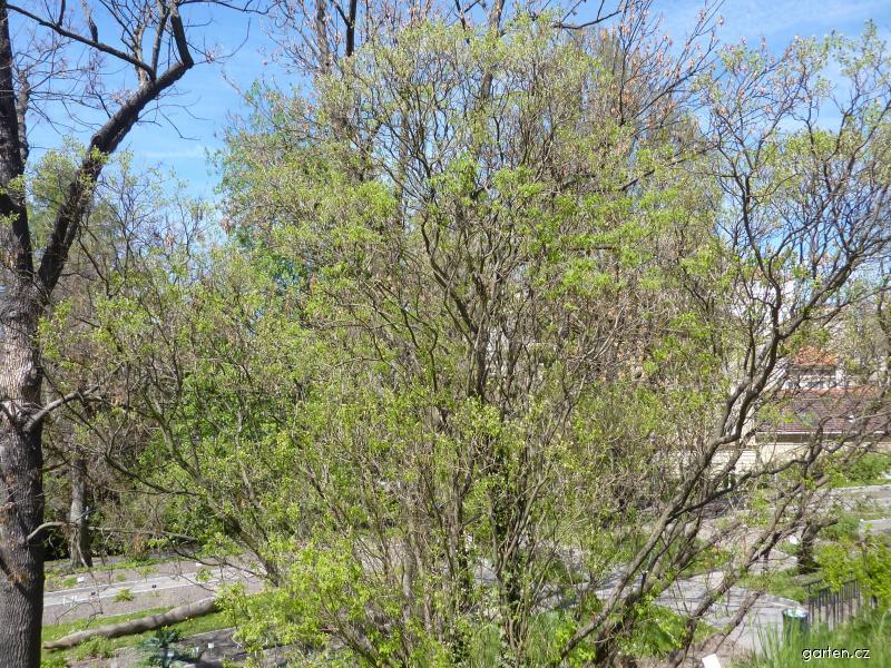 Peteria dalmátská - rašení (Petteria ramentacea)