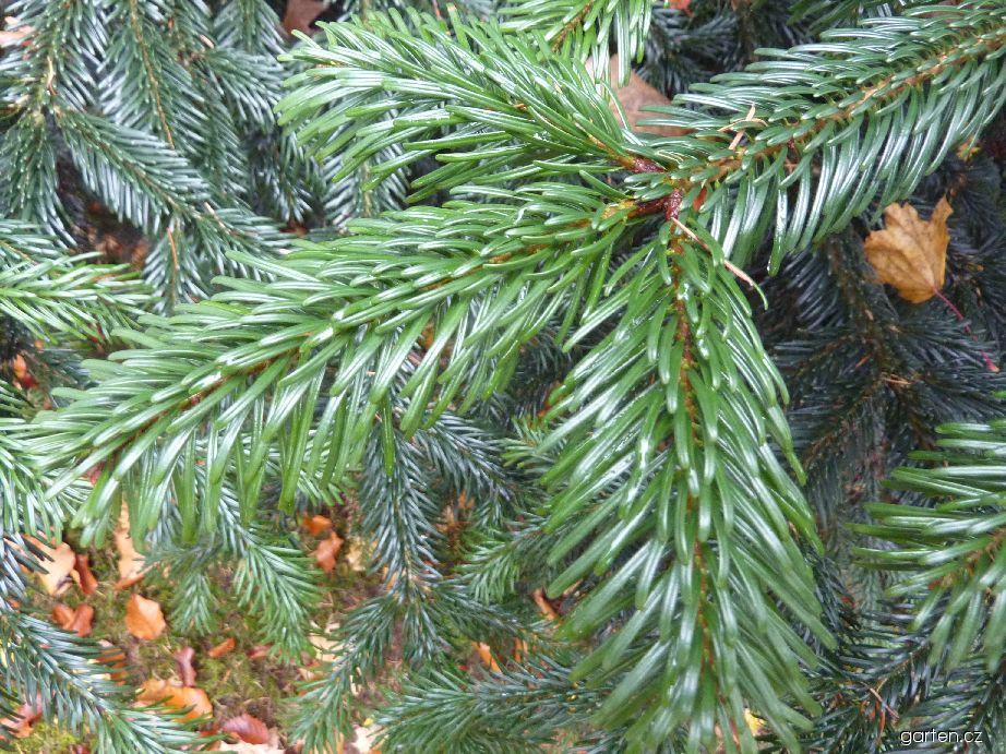 Jedle líbezná - jehlice (Abies amabilis)
