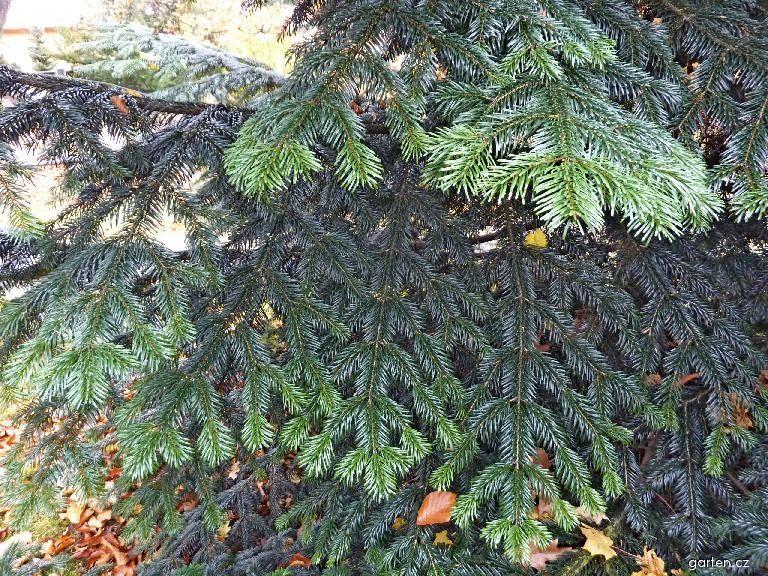 Jedle líbezná (Abies amabilis)
