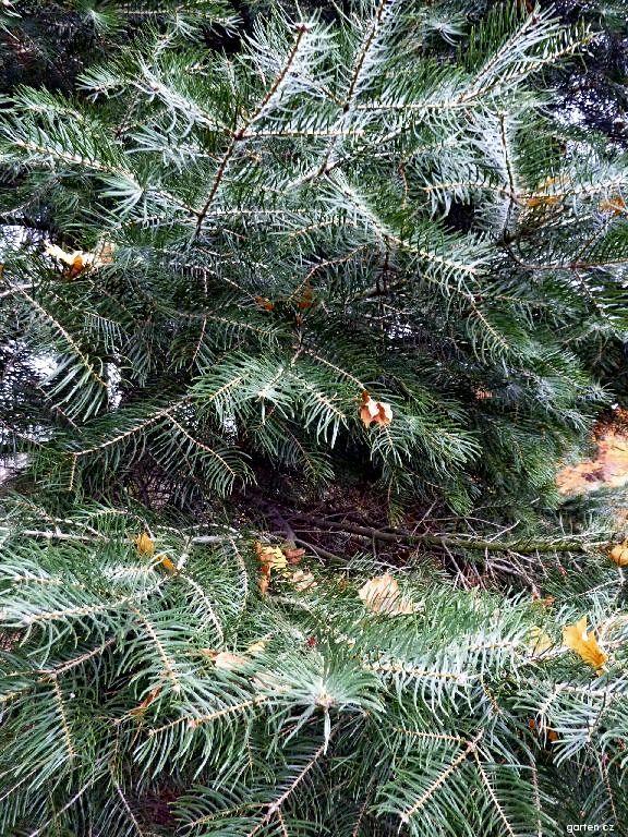 Jedle stejnobarvá ojíněná (Abies concolor)